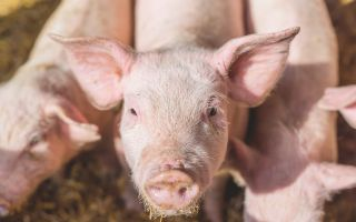 GM pigs one step closer to providing organs for human transplant